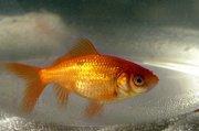 14804-poisson-rouge